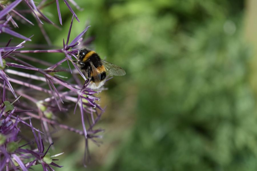 Bumblebee Buzzing Flower Nature Insect Focus On Foreground Nature Close-up No People Day Freshness Outdoors Wings One Insect Pollination Flower Head Bee Plant Growth Animal Wildlife Freshness Fragility Petal Beauty In Nature Summertime