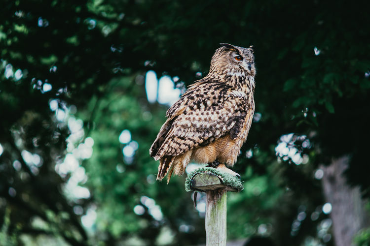 Animal Bird Bird Of Prey Brown Eagle-owl Eurasian Nature Outdoors Owl Perching Trees Wildlife
