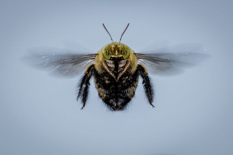 Close-Up Of Bee Flying Against Clear Sky