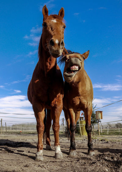 Brown horses standing on sand at ranch against sky