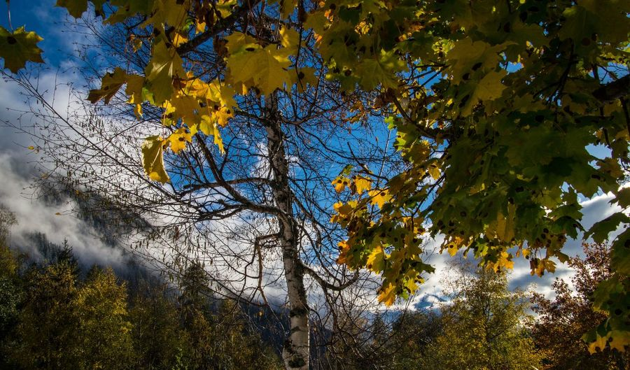 argentiere,chamonix,haute savoie,france Tree Plant Autumn Change Branch Beauty In Nature Growth Yellow Plant Part Tranquility Leaf No People Nature Day Low Angle View Sky Outdoors Scenics - Nature Tranquil Scene Maple Tree Maple Leaf Autumn Collection Natural Condition Tree Canopy