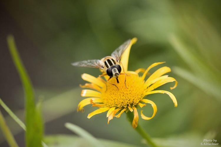 Animal Photography Close-up Flower Insect Macro Macro Photography Nature One Animal Plant Schwebefliege Single Flower Wildlife Yellow EyeEm Foto EyeEm Nature Lover