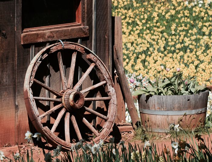 Daffodils Wood - Material Wheel Wagon Wheel Old-fashioned Weathered No People Outdoors Day Close-up Nature EyeEmNewHere Spring Retro Styled The Still Life Photographer - 2018 EyeEm Awards