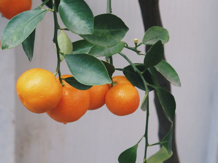Close-up of oranges on tree