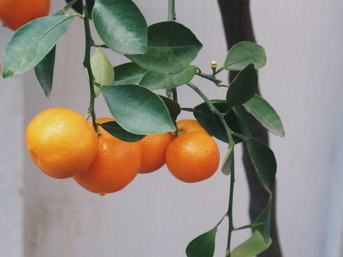 Tree Fruit Leaf Hanging Citrus Fruit Close-up Food And Drink Vitamin C Tangerine Orange - Fruit Fruit Tree Juicer