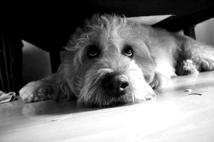 Dog Pets Looking At Camera One Animal Lying Down Portrait Relaxation Animal Body Part Indoors  Animal Themes Home Interior Close-up Domestic Animals No People Mammal