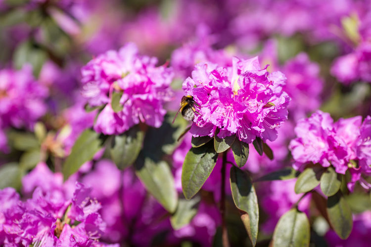 Rhododendron catawbiense Rhododendron Rhododendron Catawbiense Beauty In Nature Bee Botanical Garden Bumblebee Buzzing Flower Growth Honey Bee Nature No People Outdoors Pink Color Plant Purple Purple Blossoms Rhododendron Blossoms Spring Summer Sunny Day Wildlife