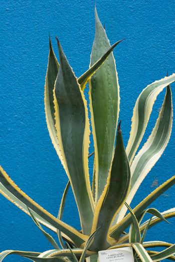 Aloe vera plant growing against blue wall