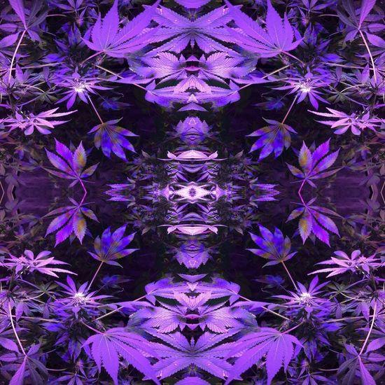 Purple Full Frame Backgrounds Symmetry No People Crowningshield Sacred Holistic Arts Sacred Art Sacredholisticarts Digital Composite Multiple Image Spirit Dreams Digital Art Pattern Tribal Gypsy Marijuanaphotosubmission Sativa Marijuana Mandala Art Close-up Day Outdoors Neon Life EyeEm Selects