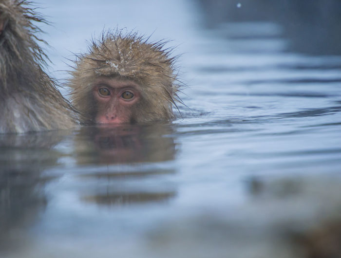 Snow monkey in a hot spring, Nagano, Japan. Animal Animal Head  Animal Themes Animal Wildlife Animals In The Wild Cold Temperature Hot Spring Japanese Macaque Lake Looking Looking Away Mammal Monkey No People One Animal Outdoors Portrait Primate Selective Focus Vertebrate Water Waterfront