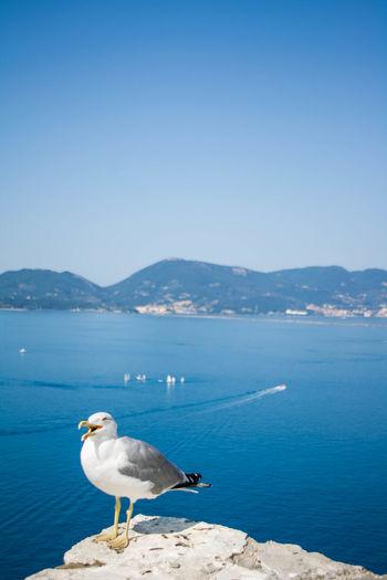 Seagulls on sea shore against clear blue sky
