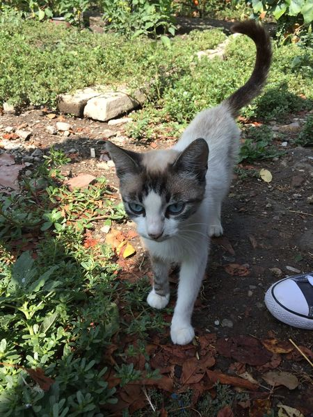 Chaisy Cat Blue Eyes Persan