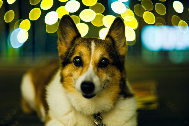 Dog Corgi Pochiko Smile SMILY FACE LeicaM9 Summmarex
