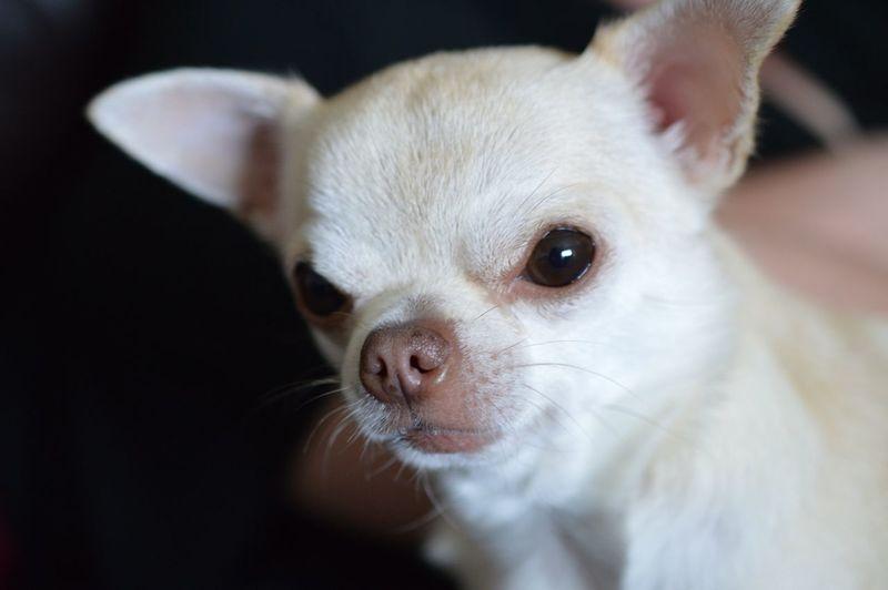 Cute Pets Chihuahua I Love My Dog Eye Em Best Shots