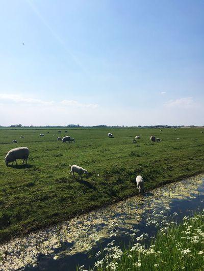 Schaap Lammetje Weiland West Friesland Netharlands Check This Out