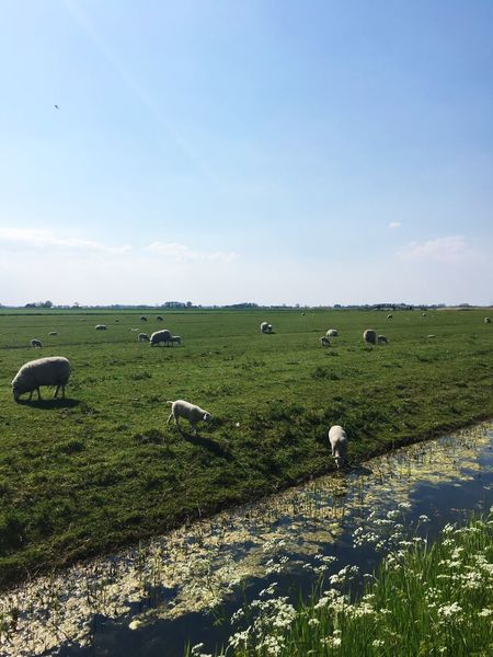 Schaap Lammetje Weiland West Friesland Netharlands Check This Out