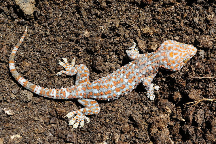 High angle view of gecko lizard on cow dung