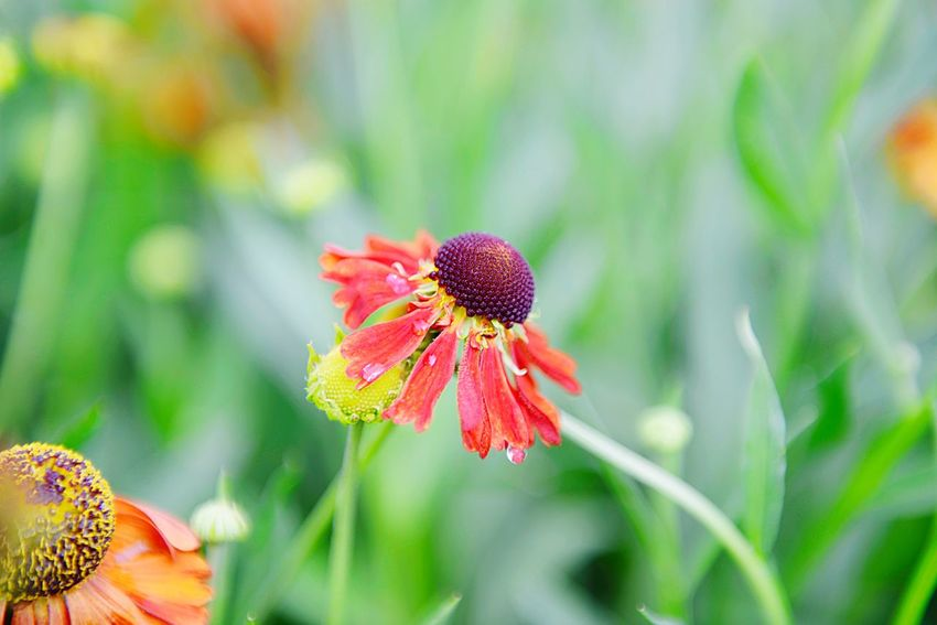 Helenium Hybride Moerheim Beauty Sneezeweed Blossom Blooming Summer Garden Garden Flower Plant Flowering Plant Beauty In Nature Close-up Freshness Fragility Vulnerability  Inflorescence Nature Petal No People Pollen Green Color Flower Head Focus On Foreground Outdoors Day Growth