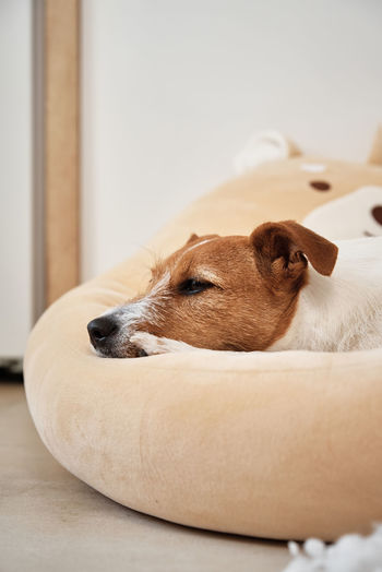 Close-up of a dog lying at home