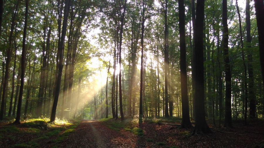 View of sunlight streaming through trees in forest