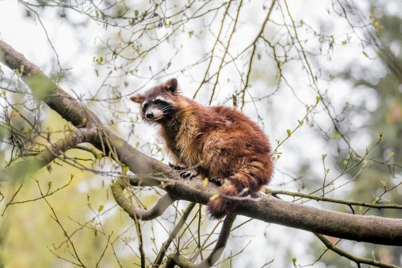 Low angle view of raccoon on tree against sky