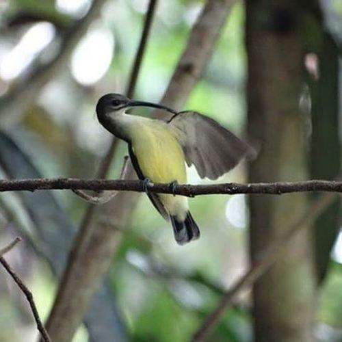 Borneo Spidercatcher Malaysia Travel Wildlife Wildlifephotography Nature Sabah Bird Rainforest ASIA
