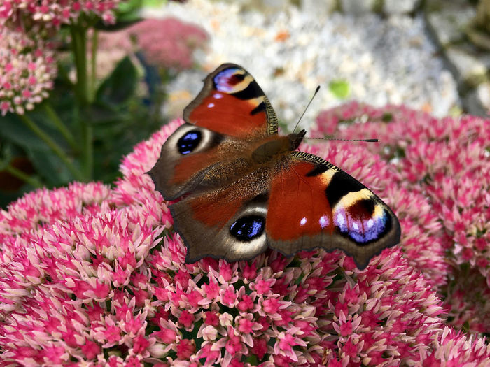 Close-up of butterfly on pink flowers