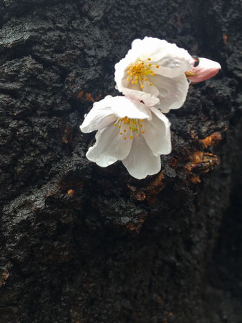Cherry Cherry Blossoms Rain Beauty In Nature Close-up Flower Flowers Freshness Nature Pink Color Tree White Color
