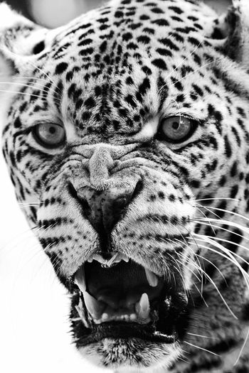 One Animal Animals In The Wild Animal Themes Animal Wildlife Leopard Animal Head  Mammal Feline No People Close-up Safari Animals Day Outdoors Nature Portrait Anger Rage Teeth Wildlife Black And White Monochrome Check This Out in Kruger Park , South Africa MISSIONS: