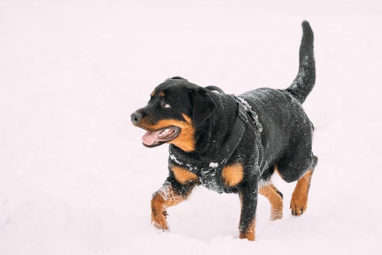 Funny Black Rottweiler Metzgerhund Dog Walking During Training. Winter Season. Funny Black Dog Pets Animal Winter Snow Cold Temperature Looking Rottweiler Metzgerhund Walking During Training Breed Purebred