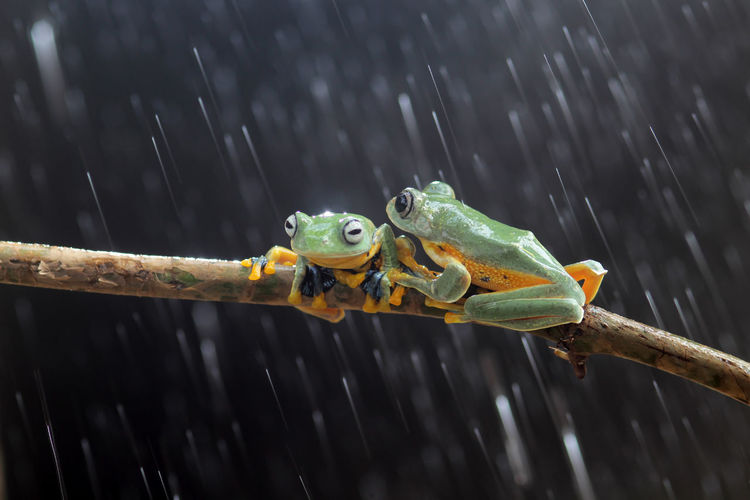 Wallace's flying frog, tree frog on a branch Animal Wildlife Animal Themes One Animal Animal Animals In The Wild Focus On Foreground No People Nature Close-up Vertebrate Amphibian Day Outdoors Wood - Material Water Green Color Frog Full Length Motion