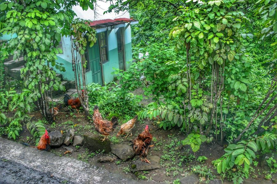 Hdrphotography Hdr Photography Grenada Chickens