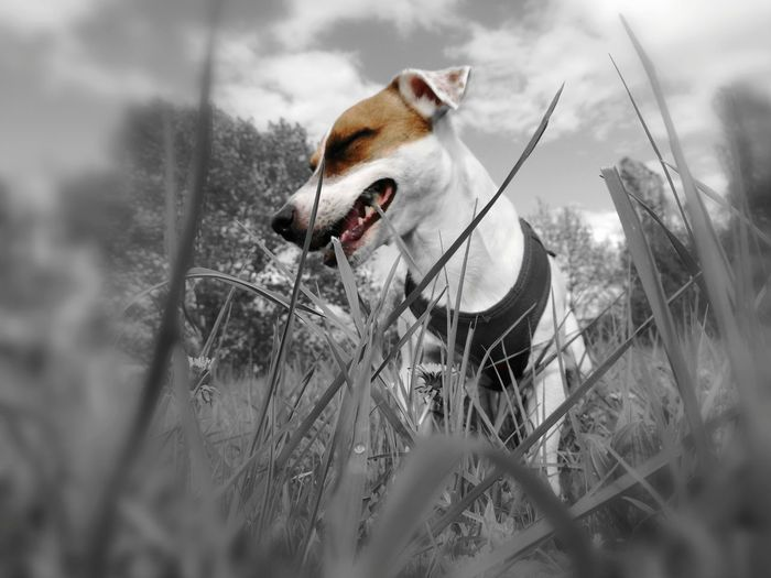 Dog Domestic Animals Pets Mammal One Animal Animal Themes Outdoors Grass Day Nature No People Protruding Beagle Close-up ❤️😍 Dexter Smyle First Eyeem Photo Grass Nature Ear The Great Outdoors - 2017 EyeEm Awards