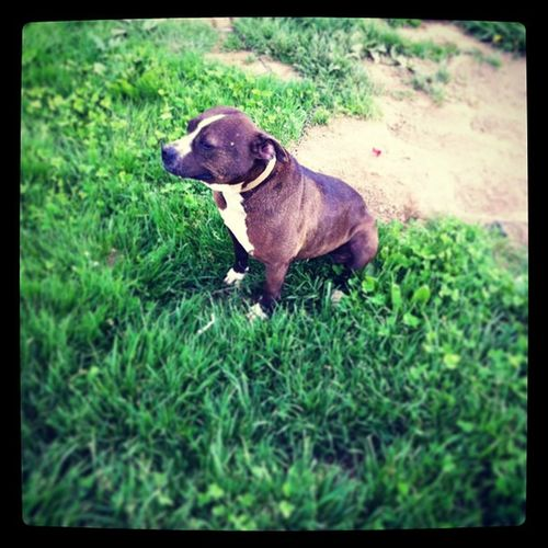 Macey our smallest Pitbull
