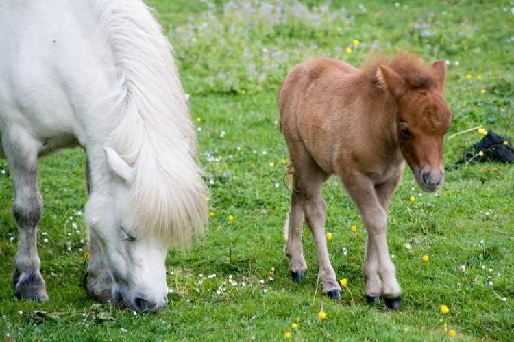 Shetland pony and foal on grassy field