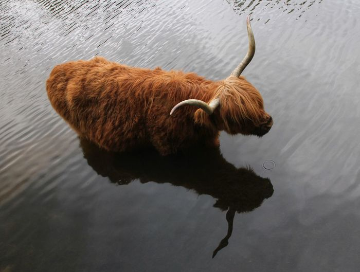 Cow One Animal Animal Themes Animal Mammal Water Vertebrate No People Herbivorous Cattle Livestock Reflection Horned Nature Day Brown Domestic Pets Animal Wildlife Domestic Animals High Angle View
