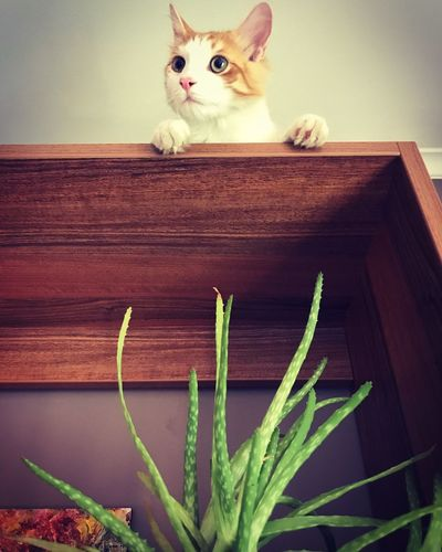 Bad boy Aloe Aloe Vera Plant Animal Themes Animal Domestic Pets One Animal Mammal Cat Domestic Animals Feline No People Indoors  Plant Wood - Material Domestic Cat Potted Plant Whisker Nature Portrait Looking At Camera Vertebrate
