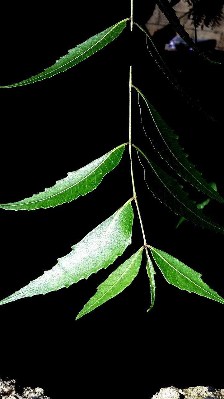 leaf, green color, growth, close-up, plant, nature, no people, outdoors, fragility, beauty in nature, day, black background, freshness