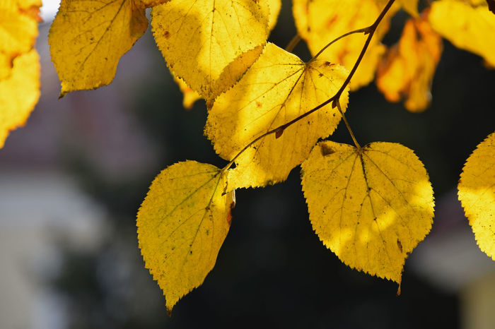 Yellow Autumn color leaves of linden tree in back light, close up Paint The Town Yellow Backlight Orange Vivid Weather Autumn Back Lit Backlit Beauty In Nature Change Close-up Color Day Leaf Lime Tree Linden Linden Tree Nature No People Outdoors Season  Sunny Day Sunshine Translucent Yellow