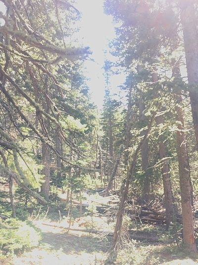 Tree Forest Nature Pinaceae Pine Tree Day WoodLand Sunlight No People Outdoors Tree Trunk Scenics Beauty In Nature Sky Rosevelt National Forest Colorado
