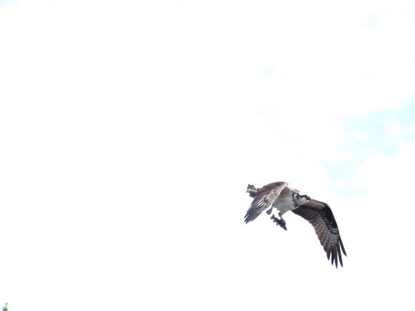 Flying One Animal Mid-air Animals In The Wild Animal Themes Bird Outdoors Spread Wings Bird Of Prey Sky No People Day Nature Peche Quebec Oiseau Balbuzard Nature Fish Poisson Vol The Great Outdoors - 2017 EyeEm Awards