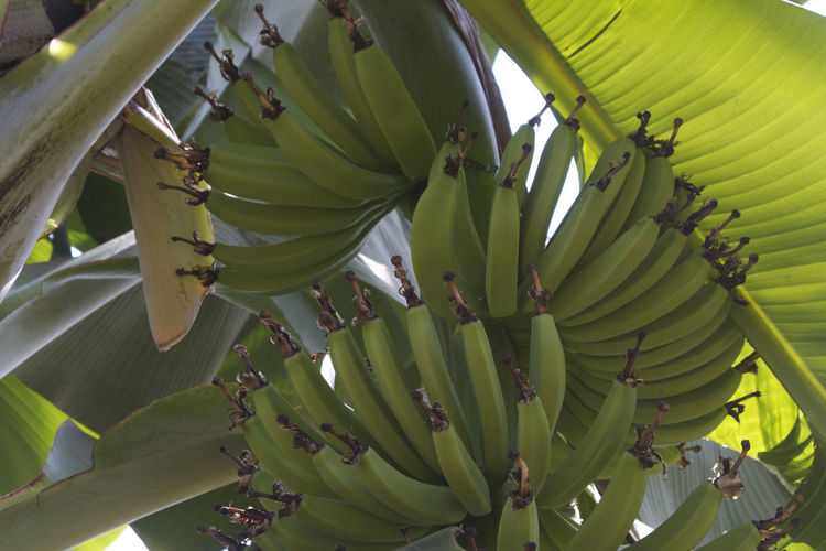 Growing bananas in Tanzania #EyeEmNewHere Banana Banana Tree EyeEmNewHere Growing Bananas Tanzania Africa Banana Banana Tree Beauty In Nature Fruit Growing Fruit Plant Tree