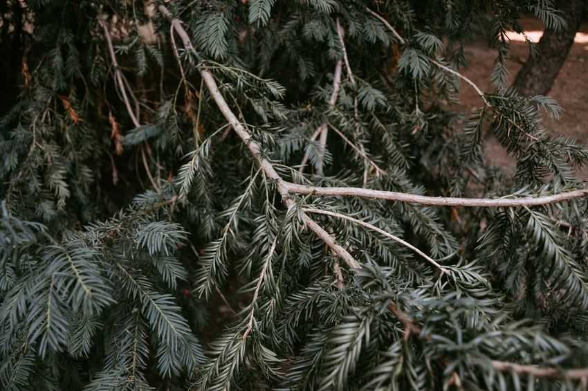 Feels like Xmas Autumn Beauty In Nature Branch Christmas Christmas Tree Close-up Cold Temperature Day Nature Needle - Plant Part No People Outdoors Pine Tree Snow Spruce Tree Tree Winter Been There. The Week On EyeEm EyeEm Nature Lover