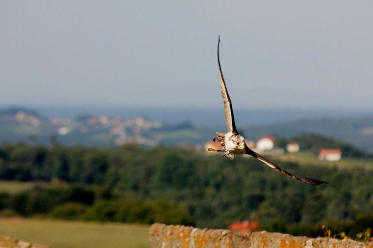 Hawk flying on field against sky