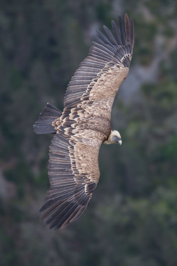 Flying griffin, gyps fulvus, verdon gorge, france