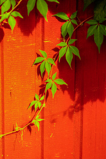 Close-up of maple leaves against wall