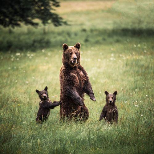 Bears on grassy field