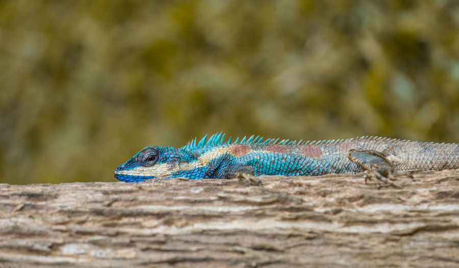 Close-up of lizard on blue surface