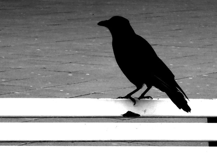 Black & White Blackandwhitephotography Animal Themes Animal Wildlife Crow Crowlovers Raven - Bird For My Friends 😍😘🎁 Beauty In December😍 Simple Beauty City Life Impressions Hannover-City Sunrise Silhouette Enjoing Life Bird Adapted To The City