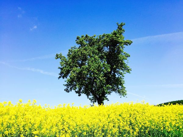 Großenrode Travel Photography IPhoneography Beautiful Day Fields Rapsfeld Yellow Weather Landscape_Collection Colorful